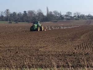 Plough and gulls 3